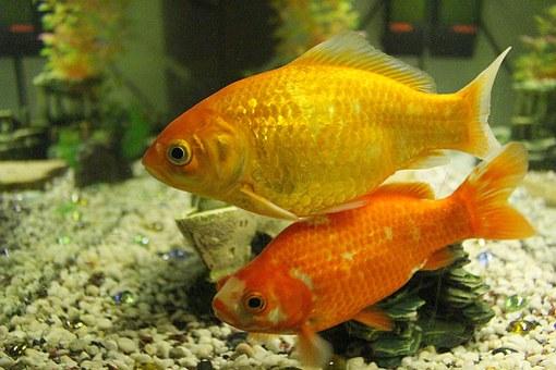 Japon Balıkları Besleme VeÜreme